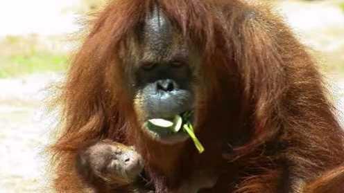 Baby orangutan gender mistake
