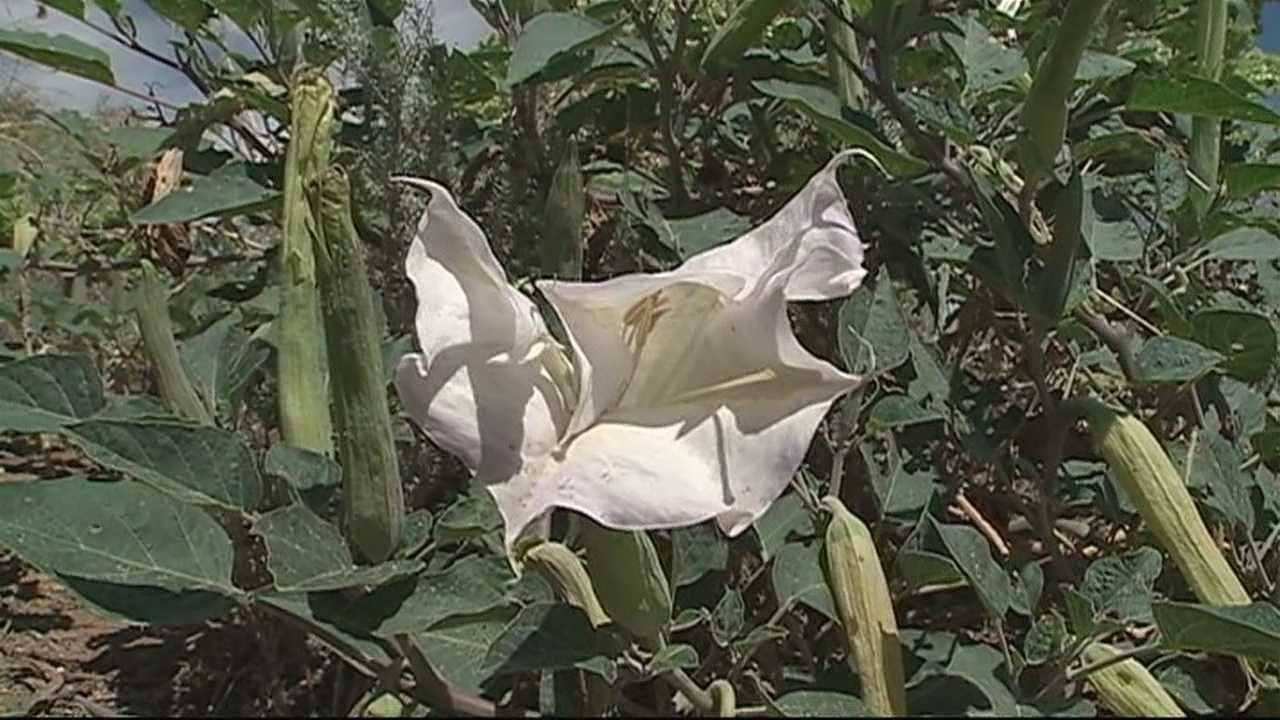 Plant poisonous if injested