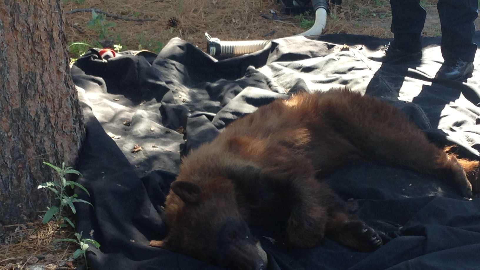Friday bear capture