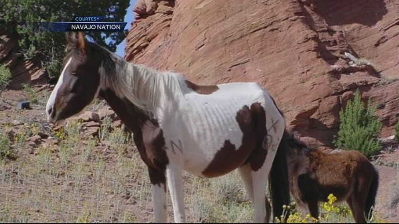 img-Wild horse roundup shows sick starving horses