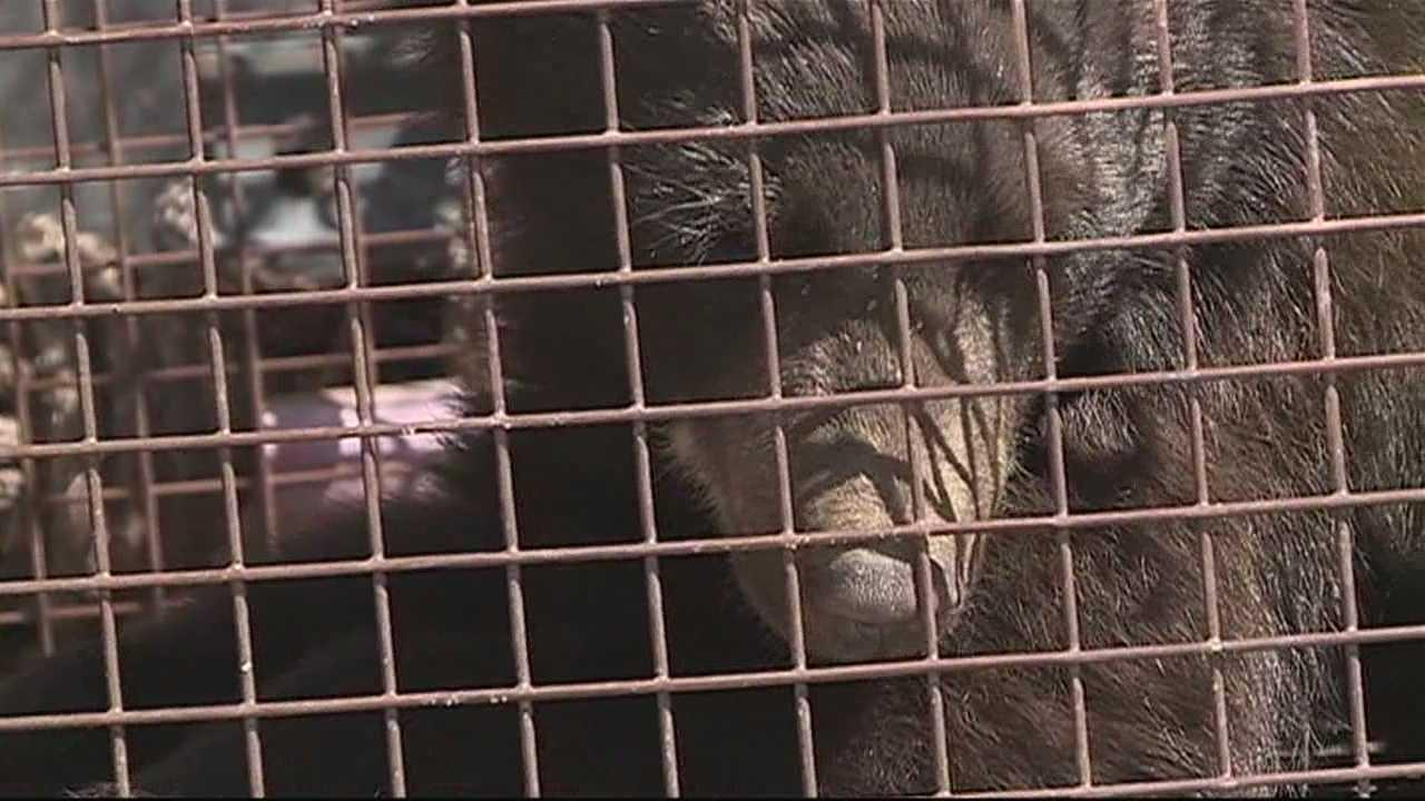 img-Bear cub to be set free