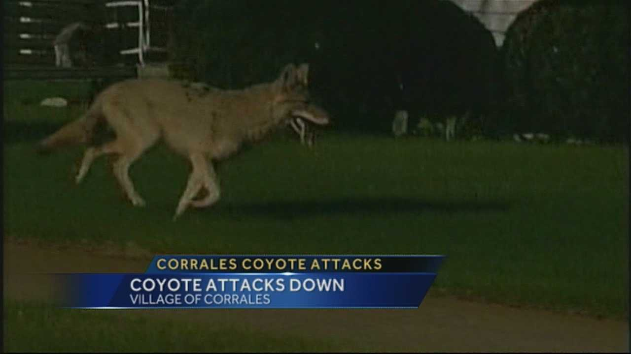 The latest coyote review from the village of Corrales showed sightings are up but the number of coyote attacks were down 14% from last year.