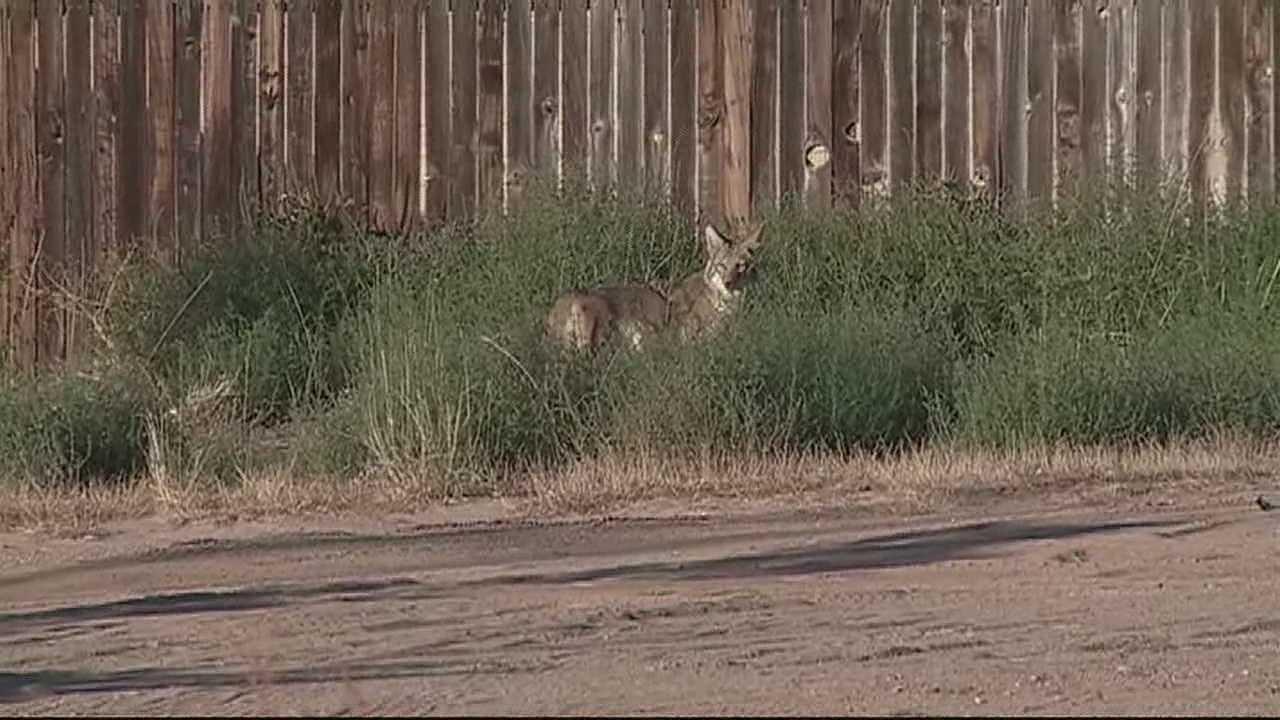 img-Coyotes kill family dog