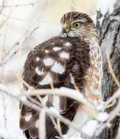 Cooper's Hawk | Rio Rancho