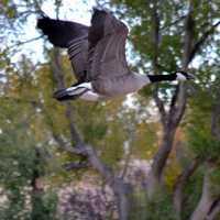 Canadian Grey Goose