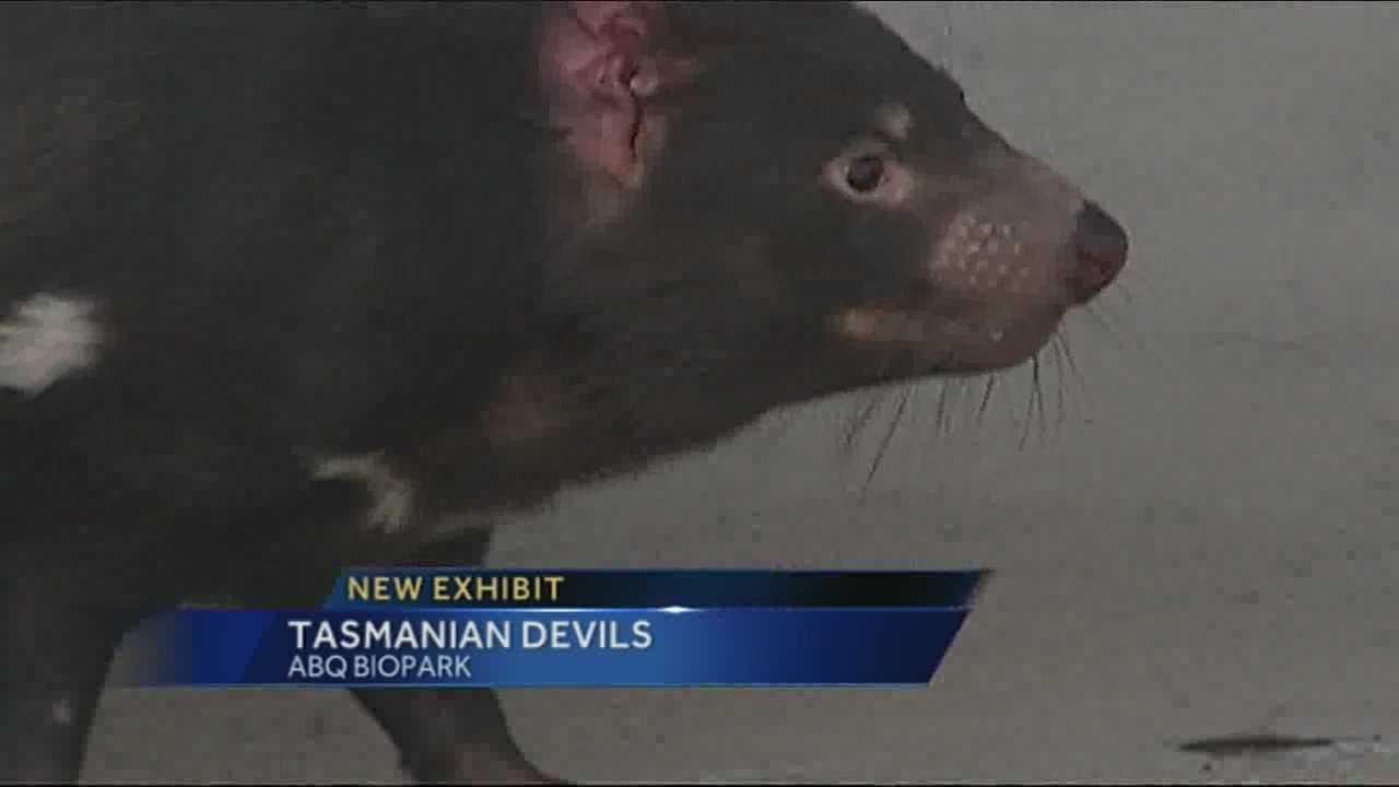 Tasmanian devils draw big crowd at ABQ BioPark