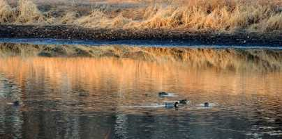 Ducks on the Rio GrandeLate day along the Rio Grande River as the sun is sinking and casting shadows and vibrant colors on the water.