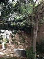 Los Ranchos tree (Part 1)