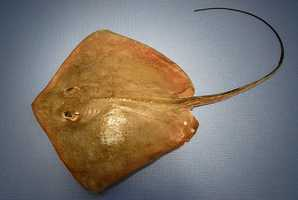 Stingray. Strike with serrated barb. Laced with venom, the barbs are known to break off in the wound.