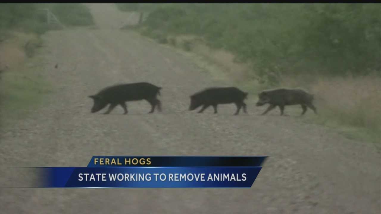 New Mexico's battle against destructive feral swine is a year and a half old, and there are now 10 fewer counties with the swine running free.
