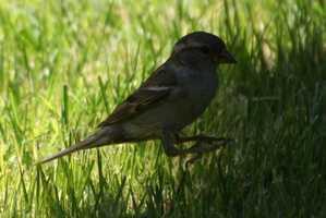 Santa Fe Ski Basin, Borrego Trail: Hermit Thrush, House Wren, Junco, Cordilleran Flycatcher, Lincoln's Sparrow, Gray Jay, and Clark's Nutcracker [Photo | Sparrow]