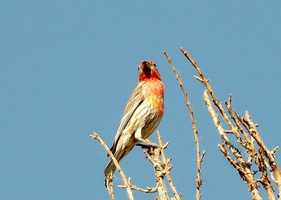 Central New Mexico Audubon Society (Sandia Crest): Rosy Finches [Photo | Finch]