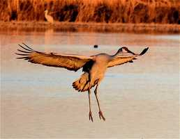 Bosque del Apache National Wildlife Refuge (Socorro): cranes, geese, ducks, eagles [Photo | Crane]