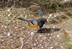 Mesilla Valley Audubon Society (Las Cruces, Dripping Springs Recreation Area): White-throated Swift, Black-chinned Sparrow and Scott's Oriole, warbler, vireo, towhees [photo], grosbeaks, orioles, ducks, cormorants, swallows, sparrows