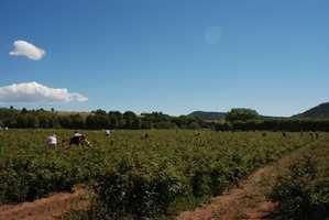 26. Pick raspberries at Salmon Ranch in Las Vegas, N.M.