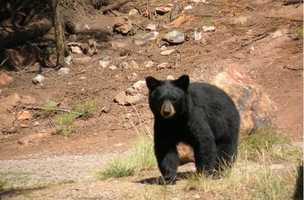 A bear is only either Brian Urlacher or an animal that comes into your back yard during fire season