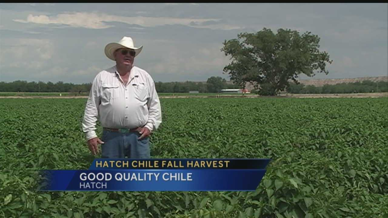 Hatch chile fall harvest: Good quality chile