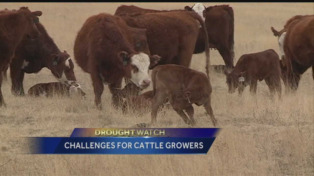 Drought watch: Challenges for cattle growers