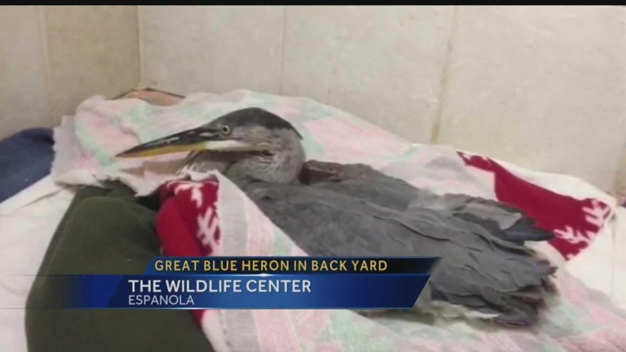 A Santa Fe resident made a rare find this week, spotting a great blue heron in his backyard.
