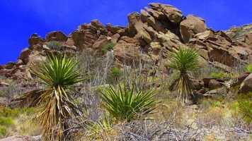 ANSWER: Yucca