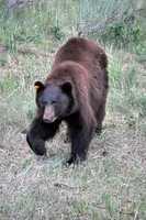 ANSWER: The Black Bear