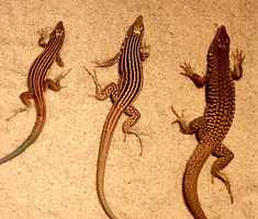 ANSWER:The New Mexico Whiptail