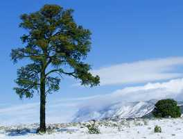 ANSWER: The Piñon Pine