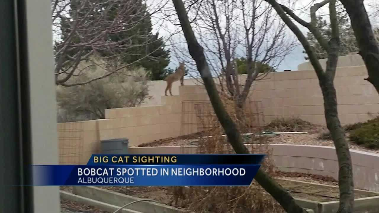 Bobcat Spotted in Neighborhood