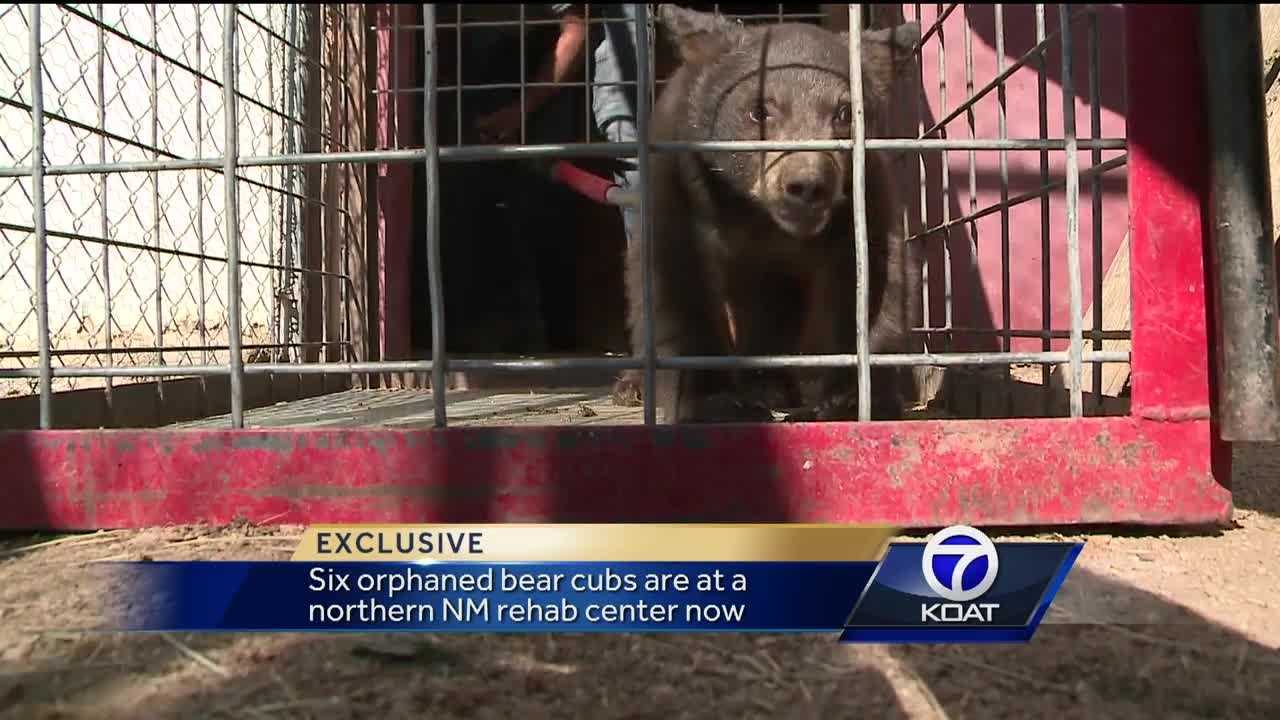 Six orphaned bear cubs at rehab center