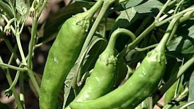Chile Farmers Hoping Rain Stays Away