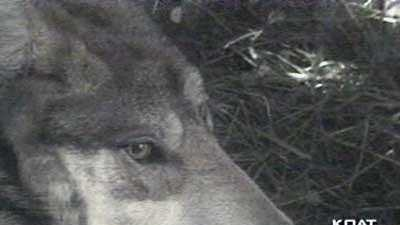 Mexican Grey Wolf Count Begins