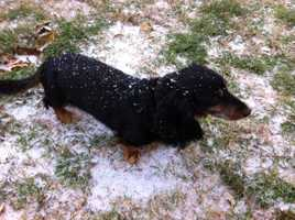 Sleet and snow in Piedmont covers Willie the dog - Photo by David Valega