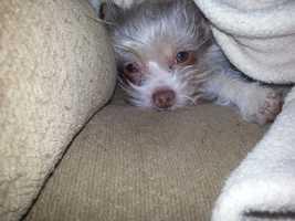 Maddie - Yorkie Chihuahua mix