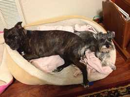 Isis - a rescued pit.Right: Jojo - miniature schnauzer