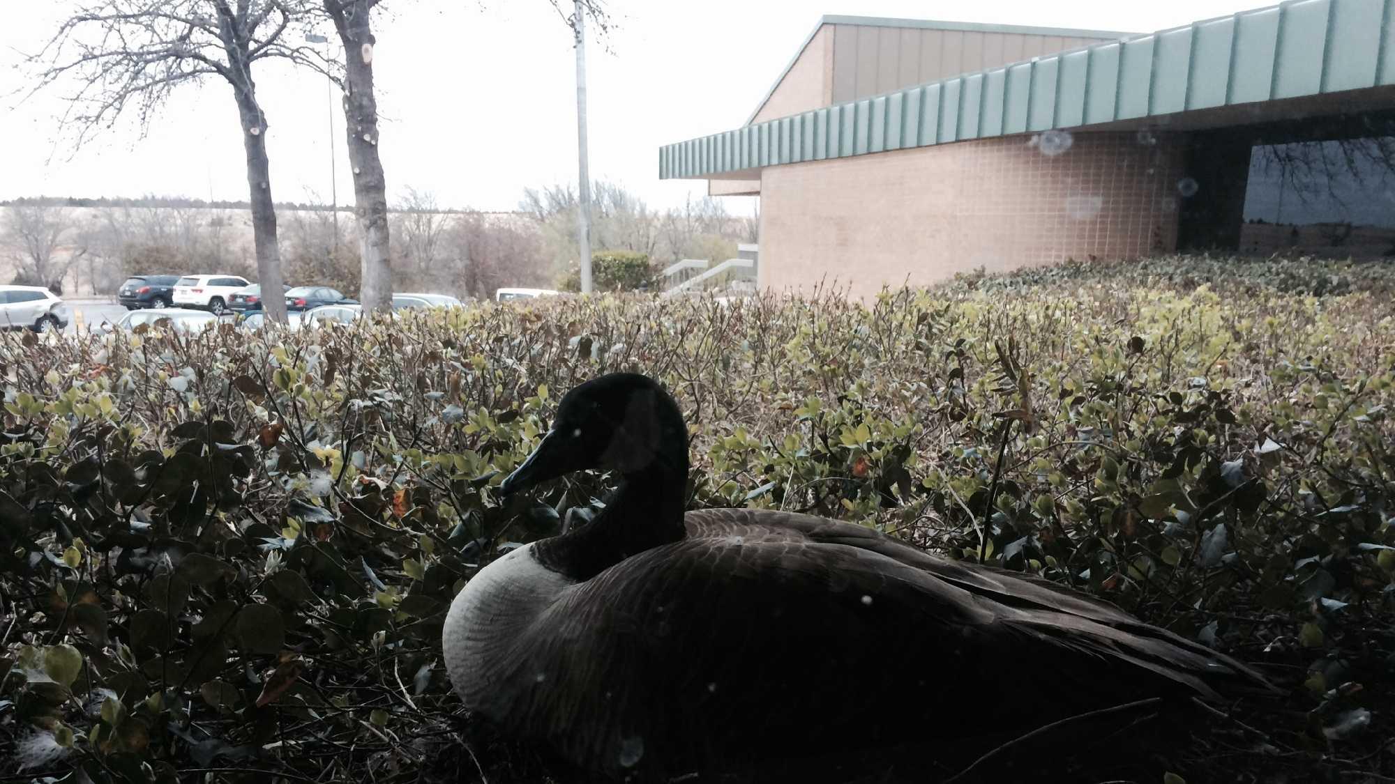 Goose cam.jpeg