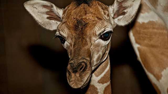 Oklahoma City zoo giraffe