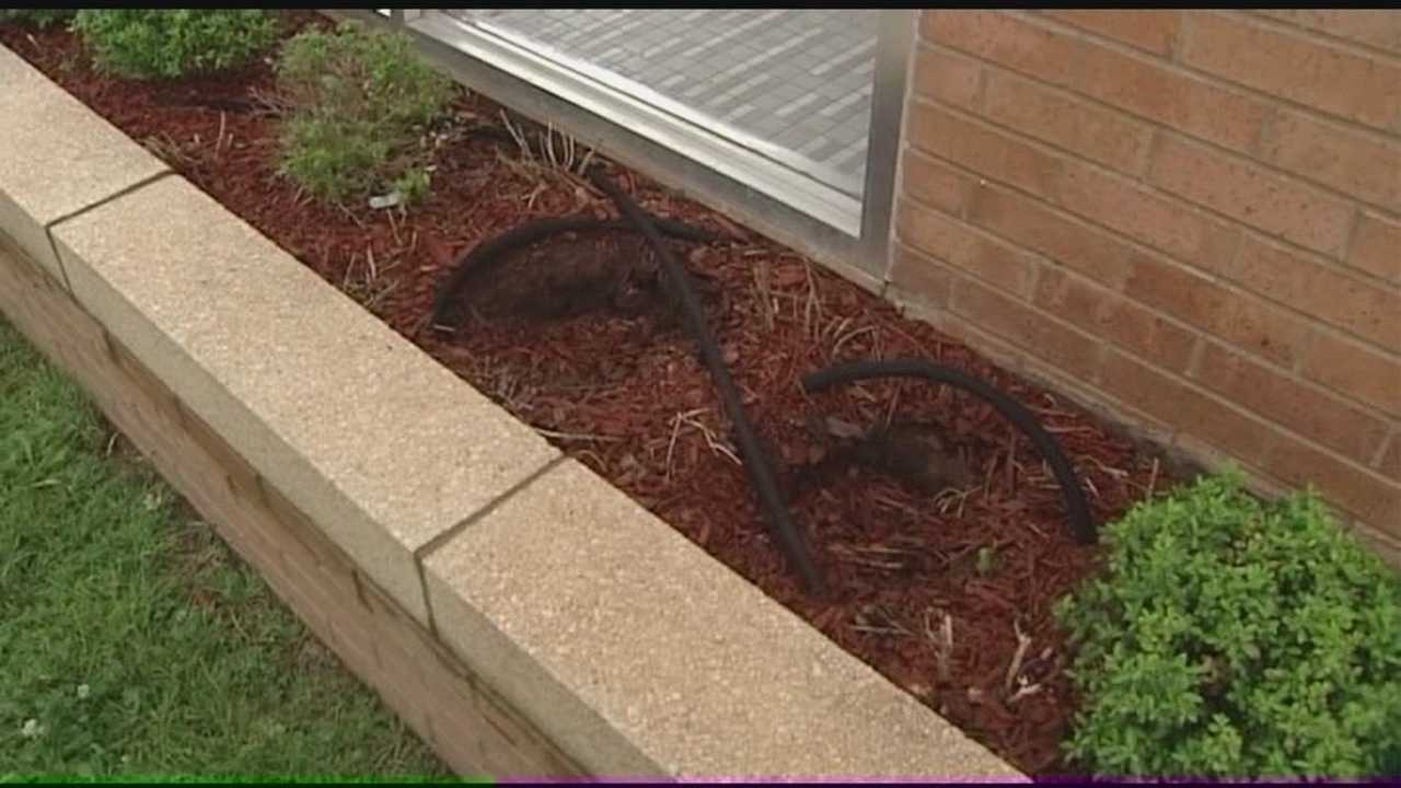 Vandals target bushes on former church grounds.