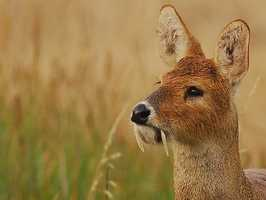 "Chinese Water Deer have earned the nickname ""Vampire Deer"" for their prominent tusks, which are used in territorial battles. Read more: http://www.fascinatingpics.com/7-strange-animals-the-world-needs-to-know-about-immediately-2/"