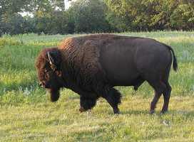 Animal: American Buffalo, or Bison