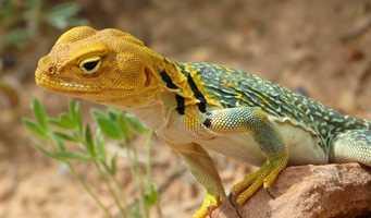 Reptile: Collared Lizard (Mountain Boomer)