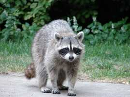 Furbearer: Raccoon