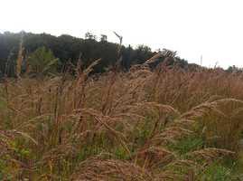 Grass: Indiangrass