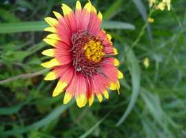 Wildflower: Indian Blanket
