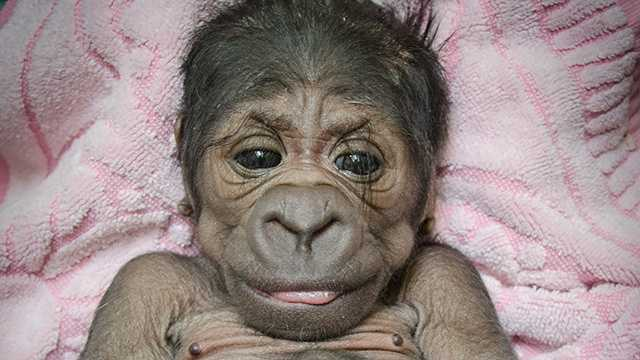 OKC Zoo gorilla infant photo 3.jpg