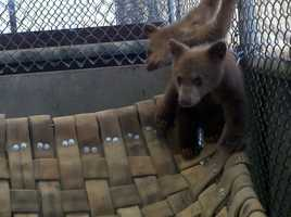 The Department of Fish and Game said it confiscated two black bear cubs from a man accused of trying to put them up for sale. The cubs could be released back into the wild by next year.