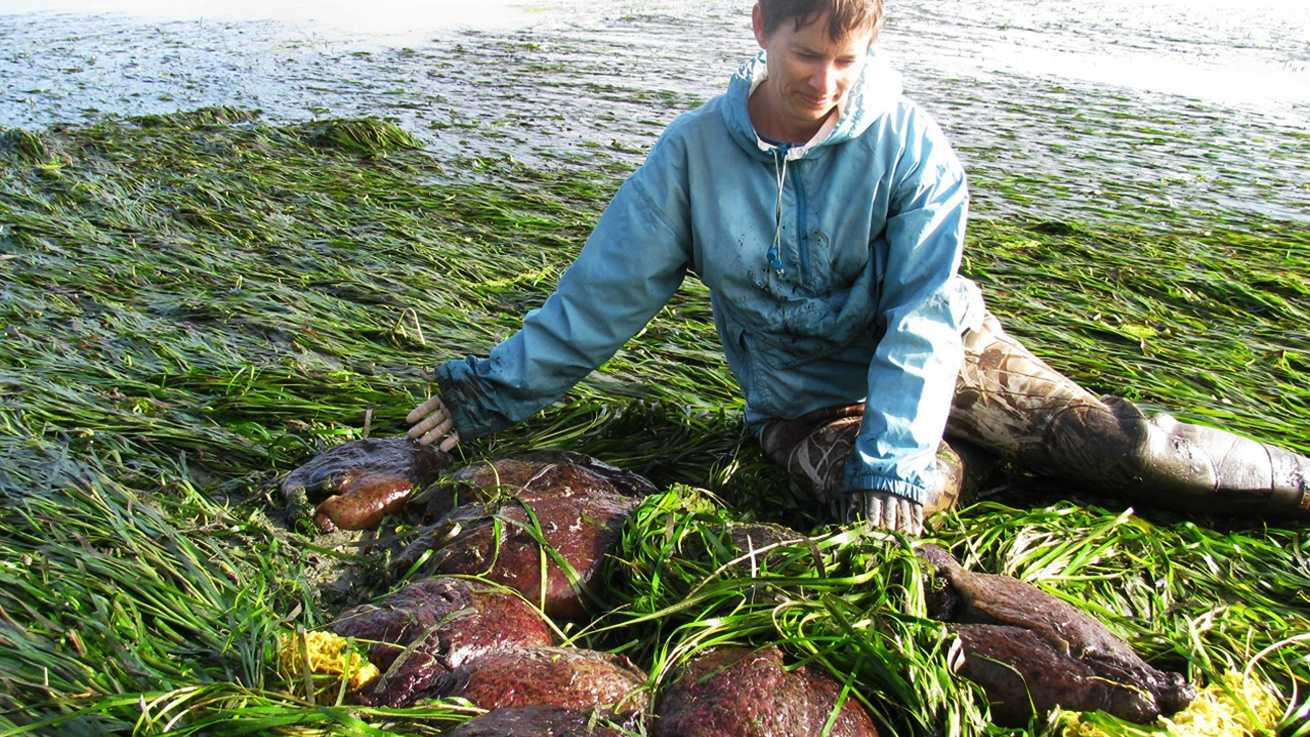 Elkhorn Slough marine researcher Kerstin Wasson poses with sea hares. (Photo by the Elkhorn Slough Foundation)