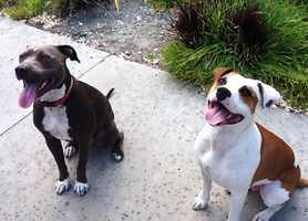 Kathryn Blandin owns these happy pit bulls.