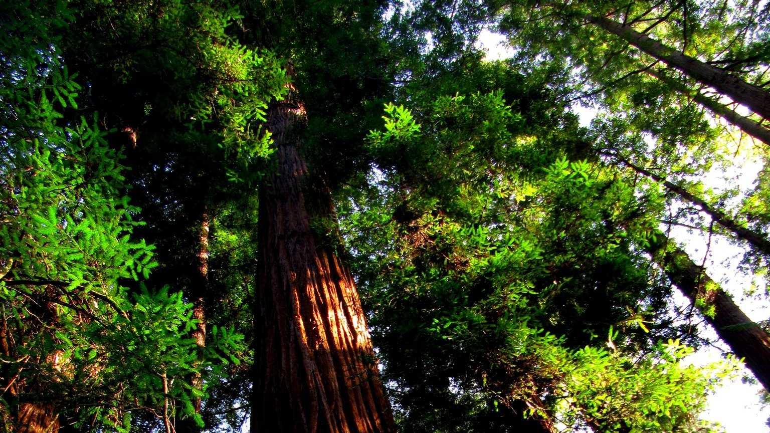 redwoodsbigestdec3.jpg