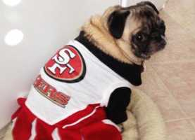 Sofia the pug sports her 49ers gear.