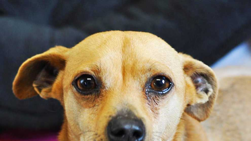 This 5-year-old Chihuahua mix dog named Parker is available for adoption at the SPCA of Monterey County.